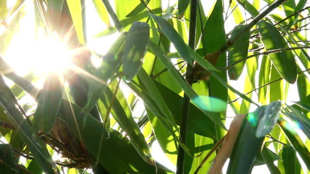 Bamboo  leaves with sunlight in Chiangmai Thailand