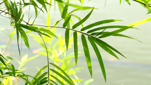 Bamboo  leaves with sunlight