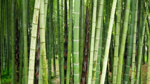 Bamboo tree forest video