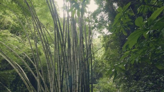bambusbäume im regenwald auf grünem hintergrund tropische pflanzen. wilder bambus-dickicht im regenwald. tropische waldlandschaft. - baumgruppe stock-videos und b-roll-filmmaterial