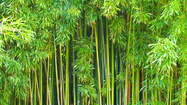 Bamboo. video