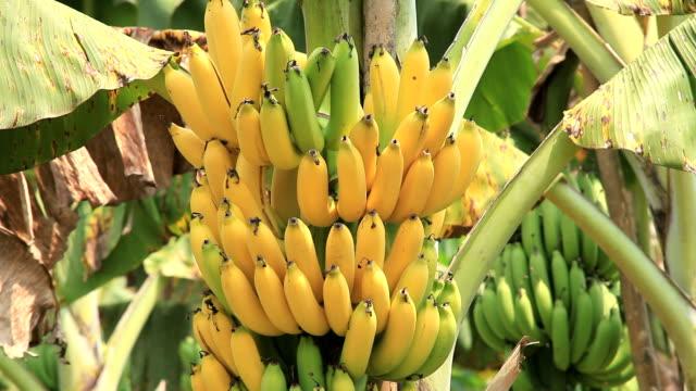 banana bunch video