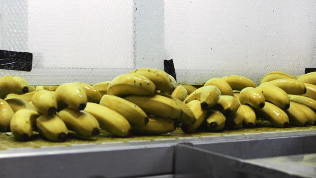 Banana during packing process, Banana on conveyor belt on packing line.