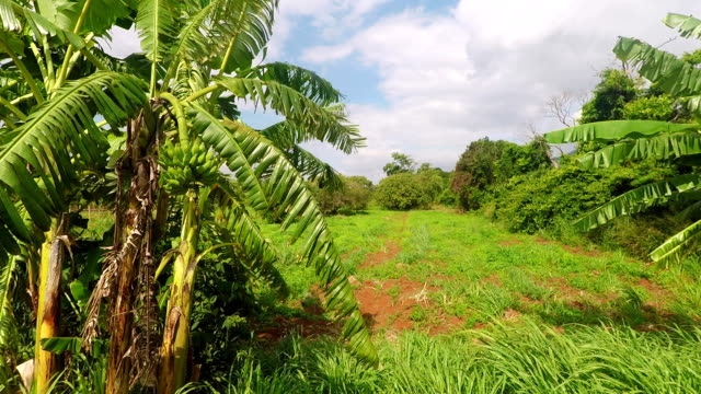 Banana Farm In Klang Dong District , Thailand video