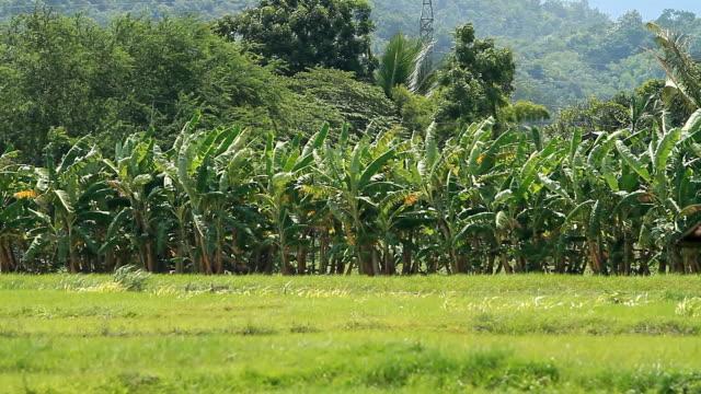 Banana farms. video