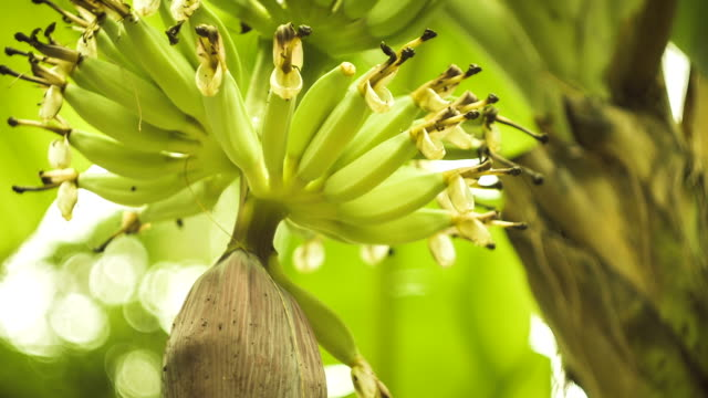 Banana flowers hanging on a banana tree, close up video