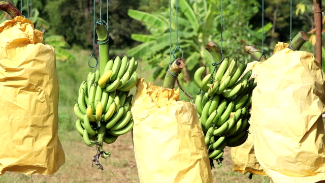 banana for export video