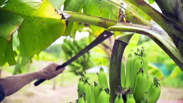 banana in farm video