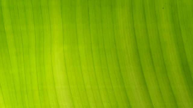 Banana leaf with sunlight