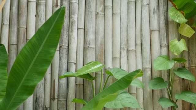 Banana leaves on wall background. Tropical green banana leaves on shabby wooden bamboo wall background