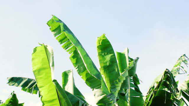 banana leaves swaying in the wind