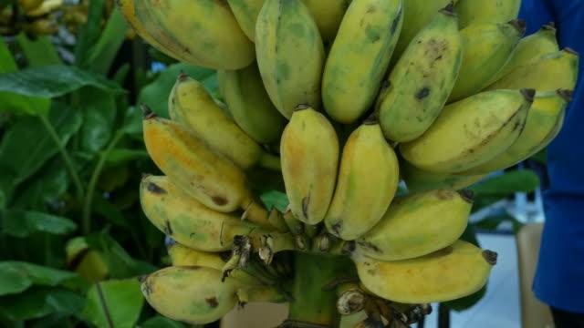 banana on tree video