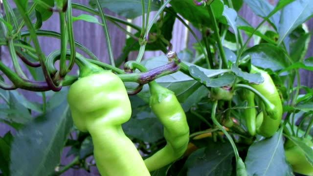 Banana Pepper Plant video