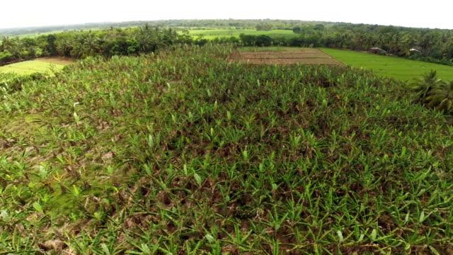 Banana plantation aerial view video