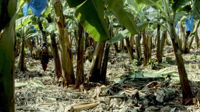Banana plantation. Burgeon on the tree video