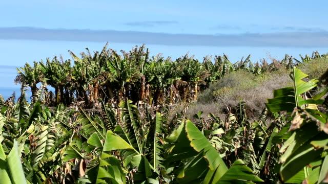 banana plantation + close up (2 shots) video
