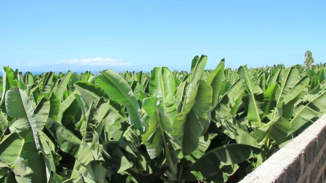 Banana plantation on South of Tenerife island. Canary islands, Spain. video
