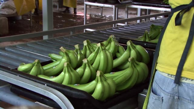 stockvideo's en b-roll-footage met bananenplantage - tropisch fruit
