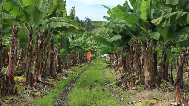 Banana plantation video
