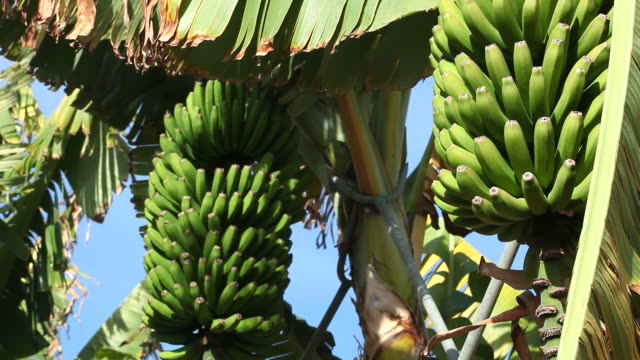 Banana Tree + Audio (2 shots) video