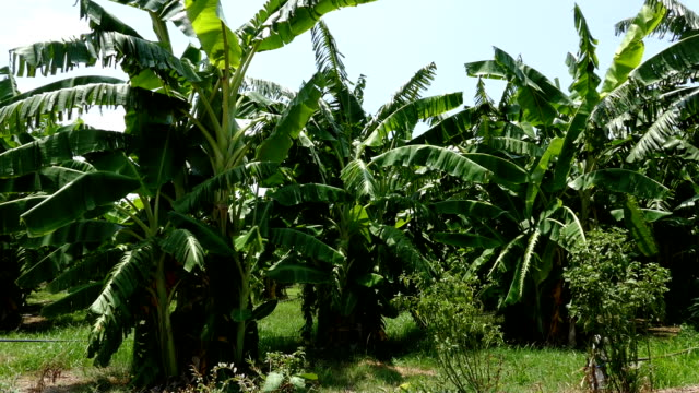banana tree in orchard grove in rural thailand video