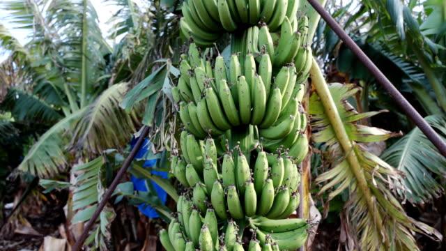 Banana tree on the plantation video