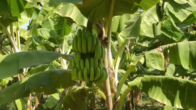 vídeos de stock, filmes e b-roll de plantação da árvore de banana - punhado