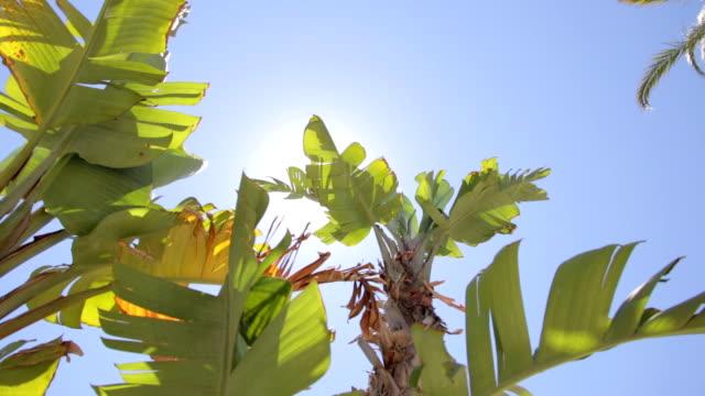 Banana tree under the sun video