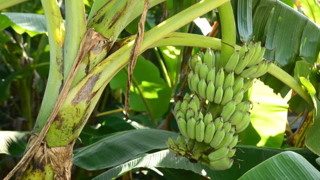 Banana tree video