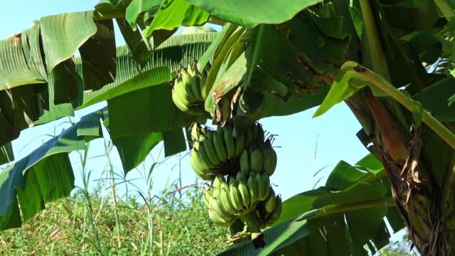 vidéos et rushes de bananier à fruits - 2018