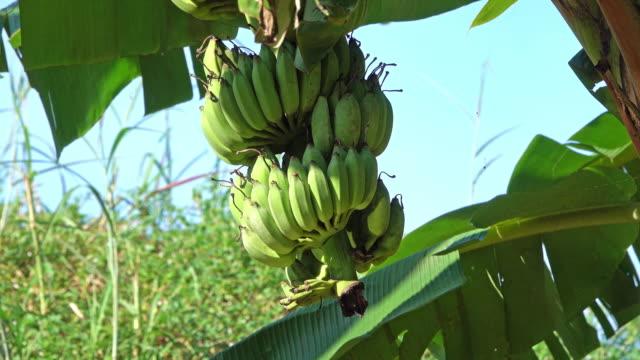 Banana Tree With Fruits