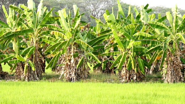 Banana trees in the field video