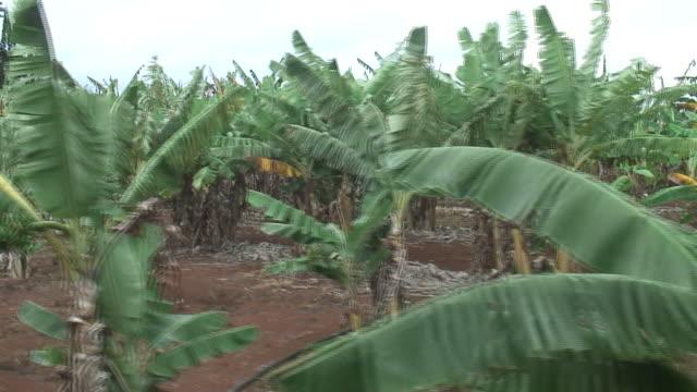 (HD1080i) Banana Trees, Moving Tracking Shot video