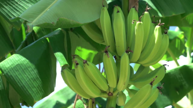 Bananas ripening on banana tree. video