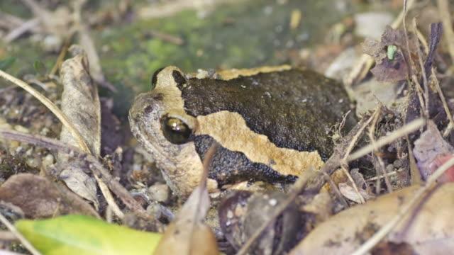 Banded bullfrog breathing video