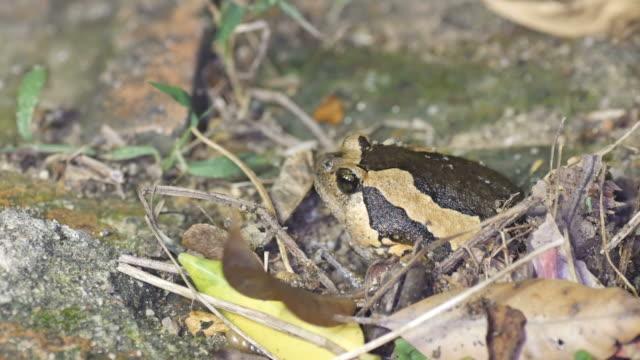Banded bullfrog burrowing video