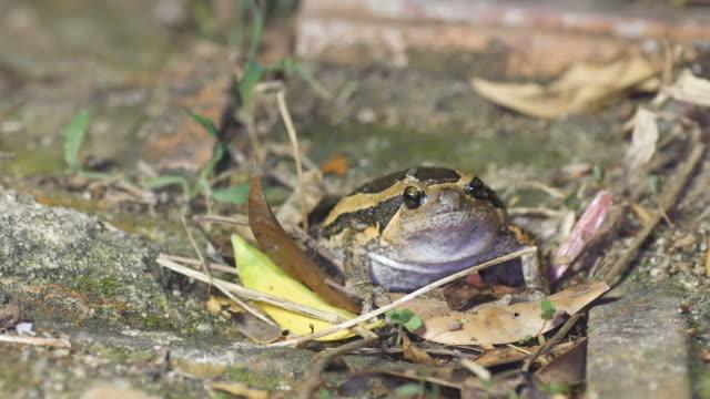 Banded bullfrog escape video