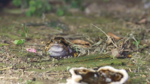 Banded bullfrog front view video