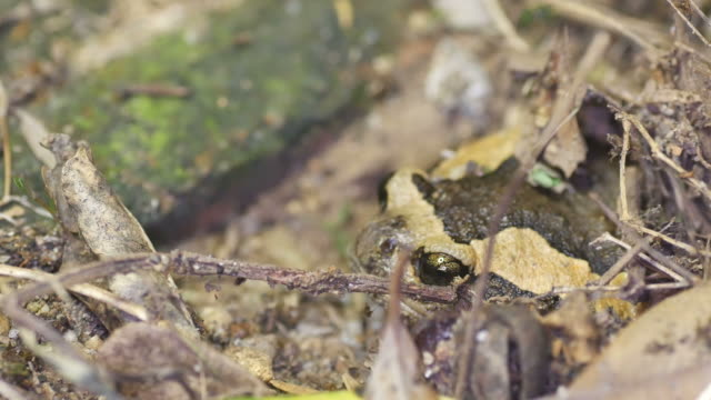 Banded bullfrog is burrowing the pit video