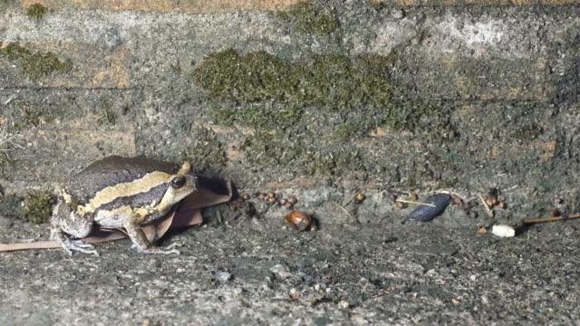 Banded bullfrog moving away video