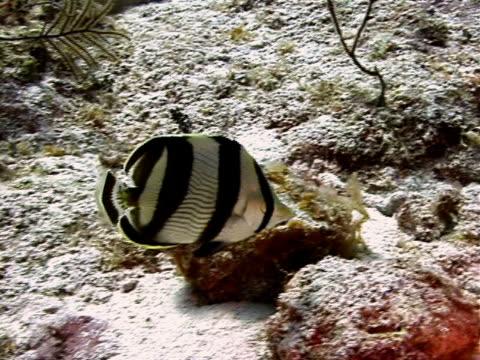 stockvideo's en b-roll-footage met banded butterflyfish pair - providenciales