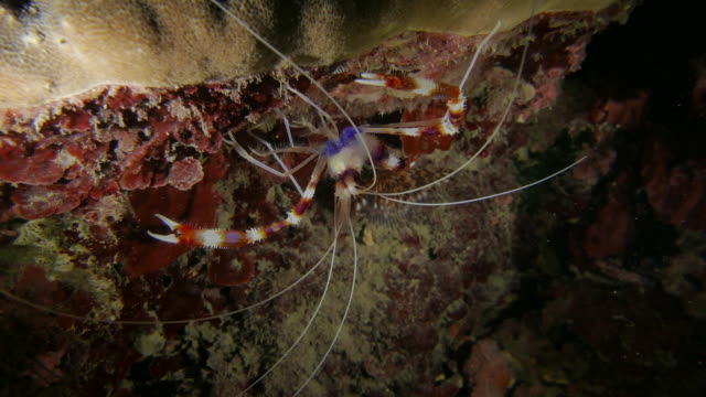 Banded Coral Shrimp (cleaner) in coral reef, Western Pacific (4K) Banded Coral Shrimp (Stenopus hispidus, cleaner shrimp) in Western Pacific Ocean, Northeast Coast, Taiwan.  cleaner shrimp stock videos & royalty-free footage