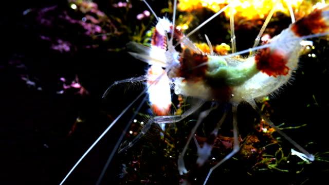 banded coral shrimp a banded coral shrimp feeds on seaweed cleaner shrimp stock videos & royalty-free footage