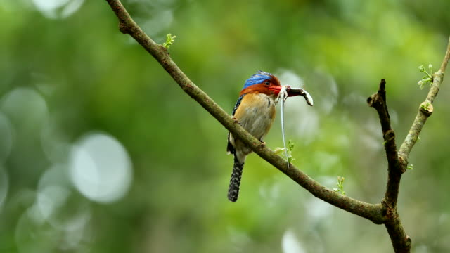 banded kingfisher (male) of thailand stading on branch with prey in his beak - uccello rapace video stock e b–roll