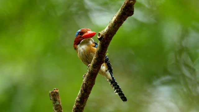 Banded Kingfisher (Male) of Thailand standing on branch video