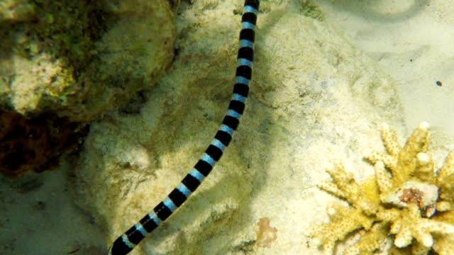Banded Sea Snake in sea video