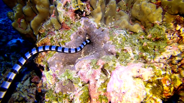 a banded sea snake (laticauda colubrina) swims over a reef in the tropical andaman sea - poco profondo video stock e b–roll
