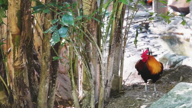 Bantam chicken or rooster walking in the zoo. video