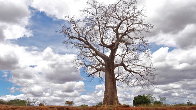 Baobab, landscape on the road to go to Tsavo Park, Kenya, slow motion Baobab, landscape on the road to go to Tsavo Park, Kenya, slow motion baobab tree stock videos & royalty-free footage