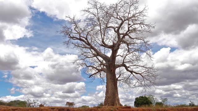 baobab, landschaft auf dem weg zu gehen, tsavo park in kenia, slow-motion - affenbrotbaum stock-videos und b-roll-filmmaterial